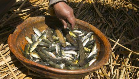 Native Killifish in South America