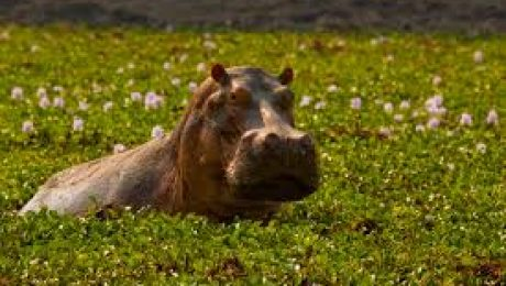 United States to Import Hippos to Control Hyacinth