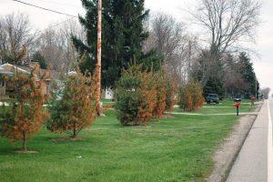 Road Salt Damages Roadside Trees
